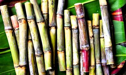 Photo of Sugar Cane